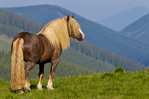 HOR 01 KH0218 01 © Kimball Stock Noriker Stallion Standing In Pasture Overlooking Hills In Austria