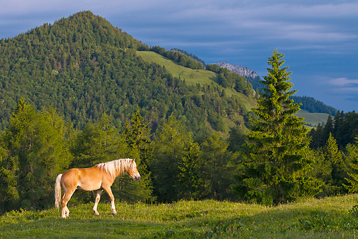 HOR 01 KH0219 01 © Kimball Stock Young Haflinger Stallion Walking Through Pasture By Hills In Austria