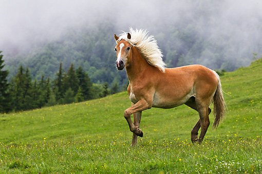 HOR 01 KH0220 01 © Kimball Stock Young Haflinger Stallion Trotting In Foggy Pasture In Austria