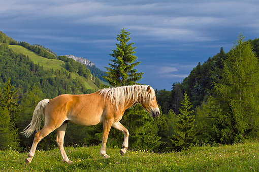 HOR 01 KH0221 01 © Kimball Stock Young Haflinger Stallion Walking Through Pasture By Hills In Austria