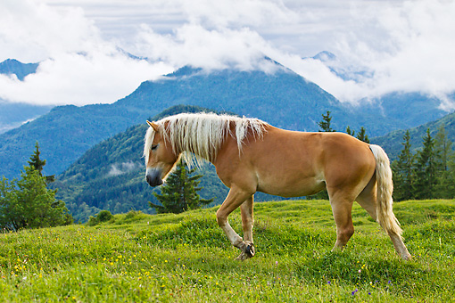 HOR 01 KH0222 01 © Kimball Stock Young Haflinger Stallion Walking Through Pasture By Hills In Austria