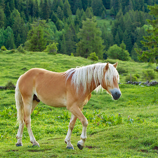HOR 01 KH0223 01 © Kimball Stock Young Haflinger Stallion Walking Through Pasture By Hills In Austria