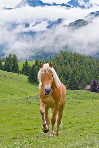 HOR 01 KH0224 01 © Kimball Stock Young Haflinger Stallion Walking Through Pasture By Hills In Austria