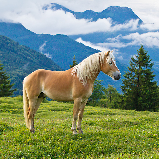 HOR 01 KH0225 01 © Kimball Stock Young Haflinger Stallion Standing In Pasture By Hills In Austria