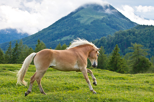 HOR 01 KH0226 01 © Kimball Stock Young Haflinger Stallion Galloping In Pasture By Hills In Austria