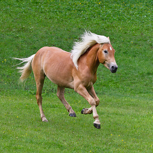 HOR 01 KH0227 01 © Kimball Stock Young Haflinger Stallion Galloping In Pasture In Austria