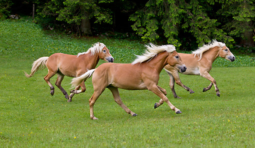 HOR 01 KH0228 01 © Kimball Stock Three Young Haflinger Stallions Galloping In Pasture In Austria