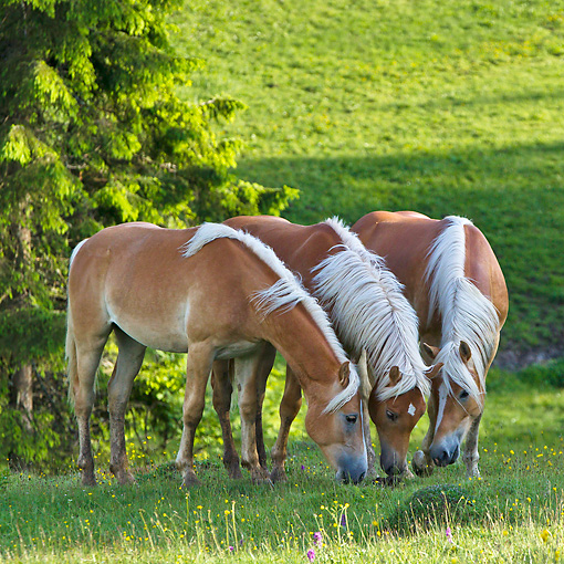 HOR 01 KH0229 01 © Kimball Stock Three Young Haflinger Stallions Sniffing Dung In Pasture In Austria