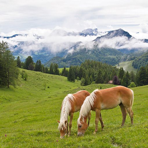 HOR 01 KH0230 01 © Kimball Stock Two Young Haflinger Stallions Grazing In Pasture By Mountains In Austria