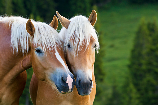 HOR 01 KH0232 01 © Kimball Stock Close-Up Of Two Young Haflinger Stallions Sniffing In Pasture