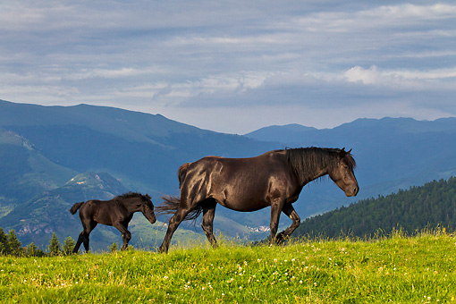 HOR 01 KH0234 01 © Kimball Stock Merens Mare And Foal Walking On Summer Pasture In Pyrenees, France
