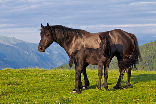 HOR 01 KH0235 01 © Kimball Stock Merens Mare And Foal Standing In Summer Pasture In Pyrenees, France