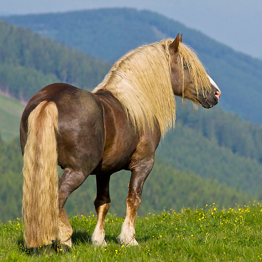HOR 01 KH0237 01 © Kimball Stock Noriker Stallion Standing On Pasture Austria