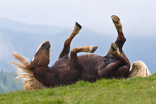 HOR 01 KH0238 01 © Kimball Stock Noriker Stallion Rolling On Pasture Austria