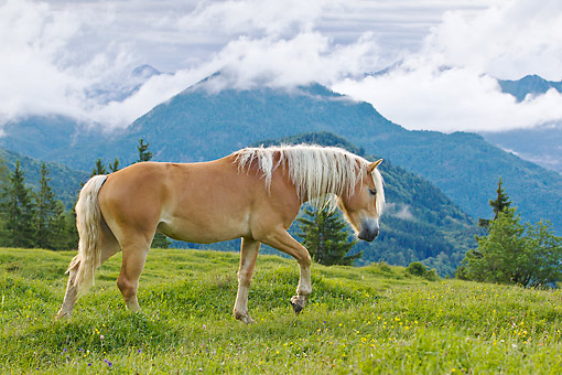 HOR 01 KH0239 01 © Kimball Stock Young Haflinger Stallion Walking On Pasture Austria