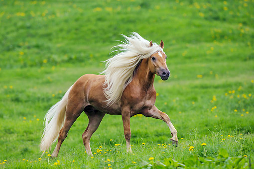 HOR 01 KH0240 01 © Kimball Stock Haflinger Stallion Galloping In Spring Meadow Austria