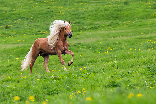 HOR 01 KH0241 01 © Kimball Stock Haflinger Stallion Galloping In Spring Meadow Austria