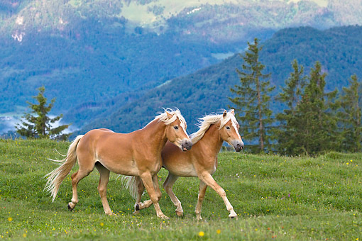 HOR 01 KH0242 01 © Kimball Stock Two Young Haflinger Stallions Trotting On Pasture Austria