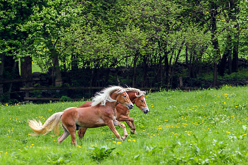 HOR 01 KH0243 01 © Kimball Stock Two Haflinger Stallions Galloping In Spring Meadow Austria