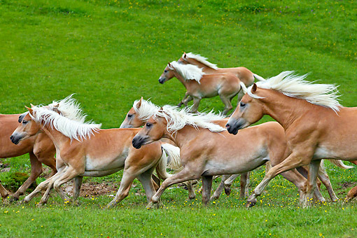 HOR 01 KH0244 01 © Kimball Stock Young Haflinger Stallions Galloping In Spring Meadow Austria