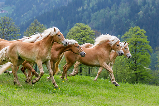 HOR 01 KH0245 01 © Kimball Stock Young Haflinger Stallions Galloping In Spring Meadow Austria