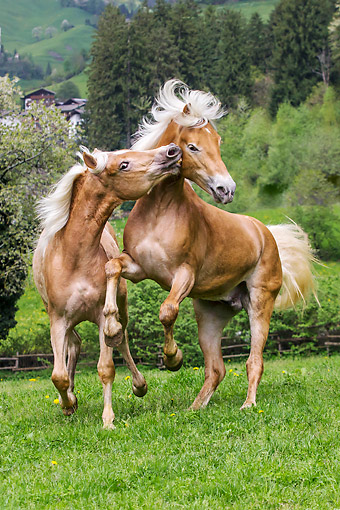 HOR 01 KH0246 01 © Kimball Stock Two Young Haflinger Stallions Sparring In Spring Meadow Austria