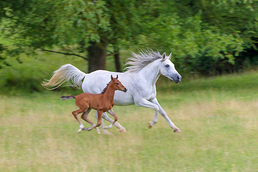 HOR 01 KH0248 01 © Kimball Stock Purebred Arabrian Horse Gray Mare And 3-Week-Old Bay Foal Galloping In Meadow