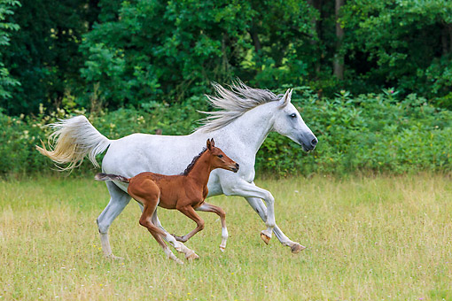 HOR 01 KH0249 01 © Kimball Stock Purebred Arabrian Horse Gray Mare And 3-Week-Old Bay Foal Galloping In Meadow