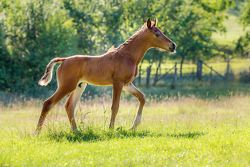 HOR 01 KH0252 01 © Kimball Stock Purebred Arabian 3-Week-Old Bay Foal Walking In Meadow, France
