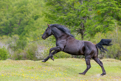 HOR 01 KH0256 01 © Kimball Stock Semi-Wild Criollo Black Stallion Running In Grass