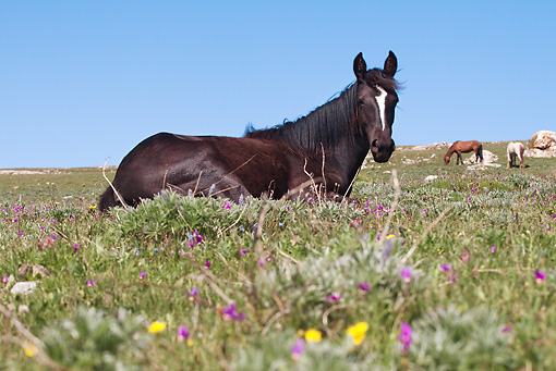 HOR 01 LS0033 01 © Kimball Stock Black Mustang Laying In Meadow
