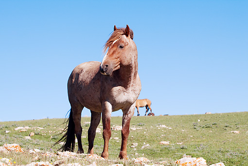 HOR 01 LS0035 01 © Kimball Stock Red Roan Mustang Standing In Meadow