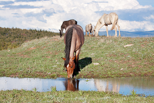 HOR 01 LS0041 01 © Kimball Stock Herd Of Mustangs Grazing And Drinking Water In Meadow