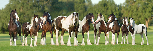 HOR 01 MB0234 01 © Kimball Stock Gypsy Vanner Mare With Eight Foals Standing In Pasture