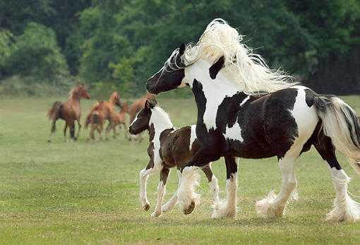 HOR 01 MB0236 01 © Kimball Stock Gypsy Vanner Mare And Foal Running In Pasture