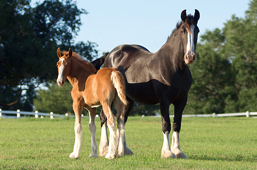 HOR 01 MB0238 01 © Kimball Stock Shire Mare And Foal Standing In Pasture