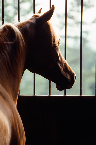 HOR 01 MB0241 01 © Kimball Stock Arabian Looking Out Stall Window