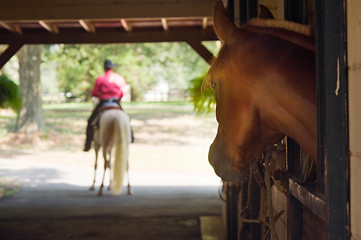 HOR 01 MB0242 01 © Kimball Stock Morgan Stallion Looking Out Stall Window At Man Riding Horse