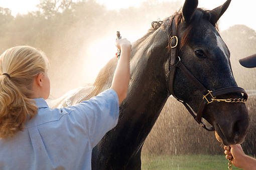 HOR 01 MB0250 01 © Kimball Stock Thoroughbred Being Sprayed With Water By Woman