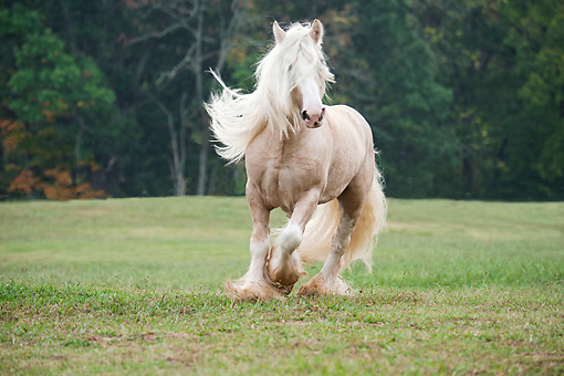 HOR 01 MB0254 01 © Kimball Stock White Gypsy Vanner Stallion Cantering Through Meadow