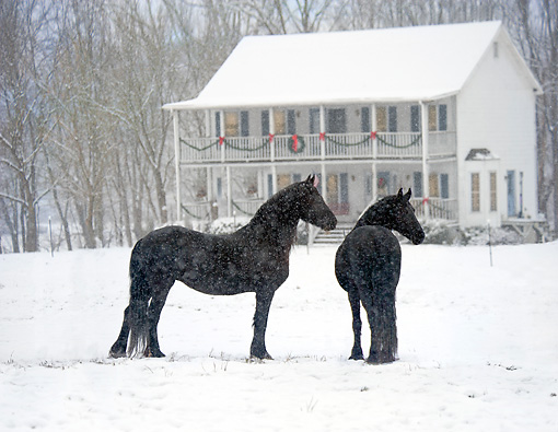 HOR 01 MB0257 01 © Kimball Stock Two Friesian Horses Standing In Snow By Holiday Decorated House