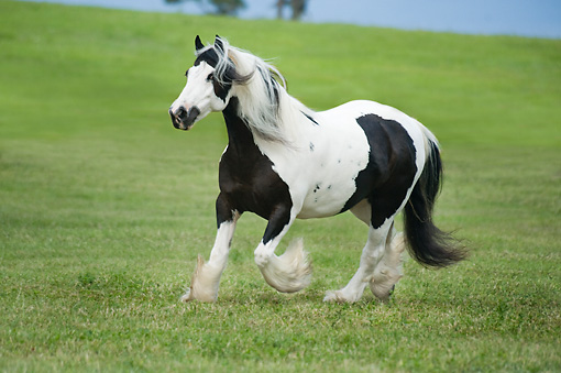 HOR 01 MB0261 01 © Kimball Stock Gypsy Vanner Mare Cantering Through Field
