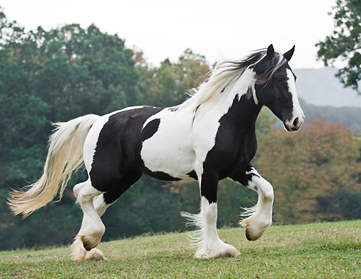 HOR 01 MB0262 01 © Kimball Stock Gypsy Vanner Mare Walking Through Field