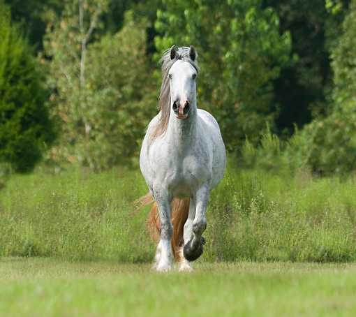 HOR 01 MB0265 01 © Kimball Stock Gypsy Vanner Mare Galloping Through Field