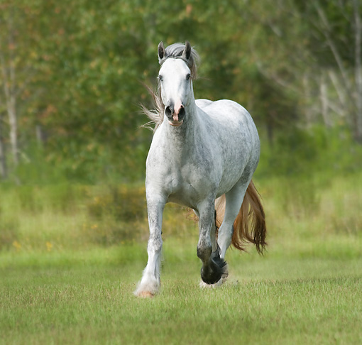 HOR 01 MB0266 01 © Kimball Stock Gypsy Vanner Mare Galloping Through Field