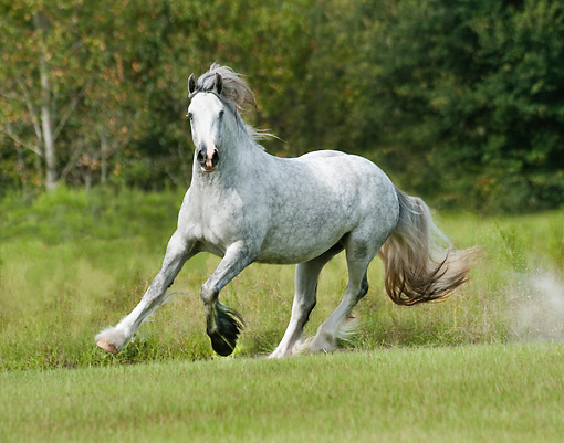 HOR 01 MB0267 01 © Kimball Stock Gypsy Vanner Mare Galloping Through Field