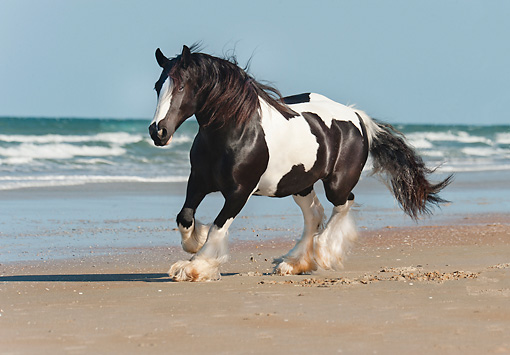 HOR 01 MB0268 01 © Kimball Stock Gypsy Vanner Mare Galloping On Beach