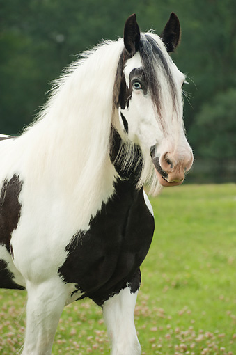 HOR 01 MB0274 01 © Kimball Stock Portrait Of Gypsy Vanner Mare Standing In Field