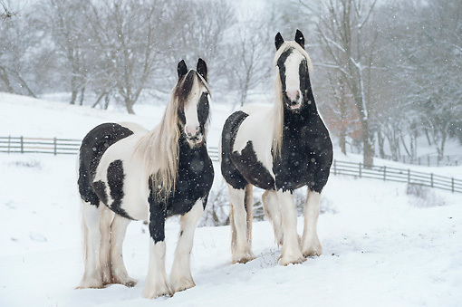 HOR 01 MB0276 01 © Kimball Stock Two Gypsy Vanner Mares Standing In Snow Covered Pasture