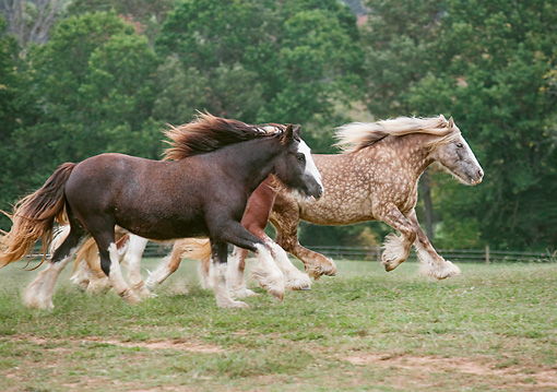HOR 01 MB0278 01 © Kimball Stock Three Gypsy Vanner Mares Galloping Through Pasture